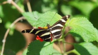 キジマドクチョウ Heliconius charithonia